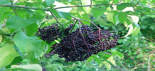 elderberry fruit - Ozgunform